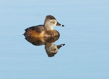 Female Ring Necked Duck - Aythya collaris Royalty Free Stock Photography
