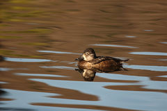 Female Ring-necked Duck. A female Ring-necked Duck on a colorful lake in California Stock Photos