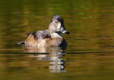 Female Ring-Necked Duck. Ring-necked duck in a creek in Tahoe stock images