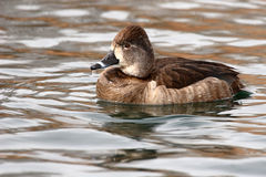 Female Ring-necked Duck. A portrait of a female Ring-necked Duck on a lake in New Mexico Stock Images