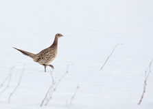 Ring necked pheasant Royalty Free Stock Photos