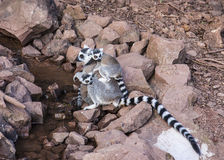Female Ring Tailed Lemur with offspring. Female Ring Tailed Lemur trying for a drink of wate with distracting active offspring Royalty Free Stock Photos