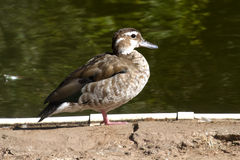Female Ringed Teal is sitting on the shore of Lake Stock Image