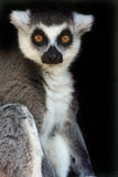 Female Ringtailed Lemur. Adult Ringtailed Lemur against black background Royalty Free Stock Photos