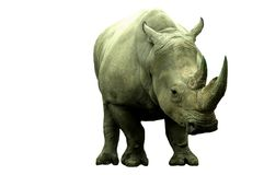 A female rino Royalty Free Stock Image