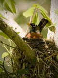 Female Robin in Nest in Tree Royalty Free Stock Image