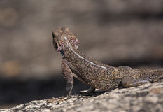 Female Rock Agama looking for prey, Tanzania Royalty Free Stock Photography