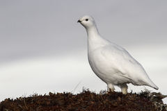Female Rock ptarmigan in spring day tundra Royalty Free Stock Photos