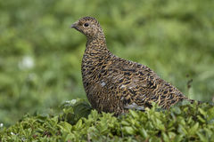 Female Rock ptarmigan in a summer dress on a background of green. Summer tundra Royalty Free Stock Photography