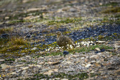 Female Rock Ptarmigan in Svalbard royalty free stock photography