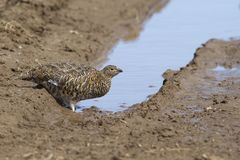 Female Rock ptarmigan which drinks water from a small puddle in. The summer tundra Royalty Free Stock Image