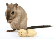 Female rodent with monkey nut peanut on white Stock Images