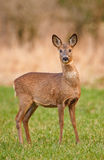 Female roe deer. In a field of short grass, still in winter coat Royalty Free Stock Image