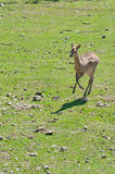 Female roe deer Royalty Free Stock Photo