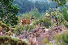 Female of Roe Deer. Capreolus capreolus. Sierra de la Cabrera, Leon, Spain. Stock Photo