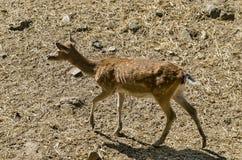 Female Roe Deer or Capreolus walk in a park Royalty Free Stock Image