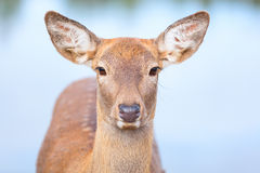 Female Roe deer close up portrait  Stock Photos