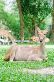 Female roe deer in a field Royalty Free Stock Photos
