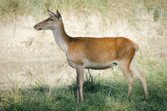 Female roe deer in a field Royalty Free Stock Photography