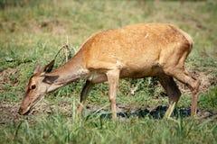 Female roe deer in a field Stock Image