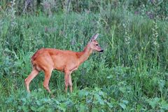 Female roe deer in the green field Royalty Free Stock Image