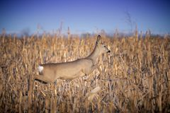 Female Roe Deer Jumping Royalty Free Stock Photography