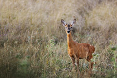 Female roe-deer in late summer color Royalty Free Stock Image