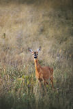 Female roe-deer in late summer grass Stock Photography