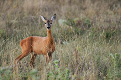 Female roe-deer in late summer vegetation Royalty Free Stock Photography