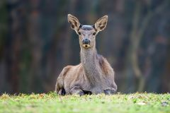 Female roe deer lies in a forest royalty free stock photos