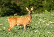 Female roe deer Royalty Free Stock Images