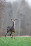 Female roe deer Royalty Free Stock Photos