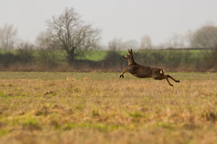 Female Roe Deer running across Field royalty free stock photos