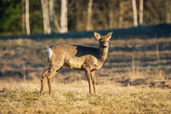 Female Roe deer standing on a field on a sunny morning. Side view of a female Roe deer standing on a yellow field in the sunshine looking  at photographer Stock Photography