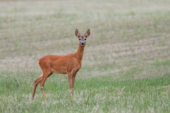 Female Roe Deer standing on the summer field. Cute wild doe with blurred background. Wildlife scenery Stock Photo