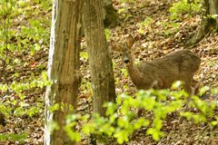 Roe deer in summer forest Stock Image