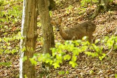 Roe deer in summer forest Royalty Free Stock Image