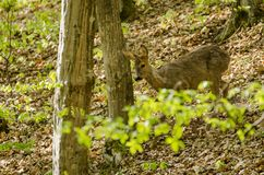 Roe deer in summer forest Stock Photo