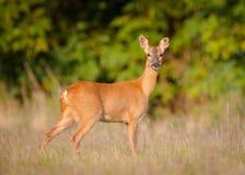 Female Roe deer. Wild female roe deer (Capreolus capreolus), taken in Buckinghamshire, England Royalty Free Stock Photography
