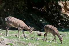 Female roe deers Royalty Free Stock Images