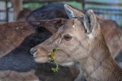 Female Roe Mule Deer Royalty Free Stock Images