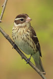 Female Rose-breasted Grosbeak Royalty Free Stock Image