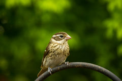 Female Rose-breasted Grosbeak Royalty Free Stock Photography