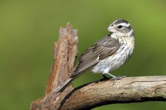 Female Rose-breasted Grosbeak perched on a dead tree branch Stock Photography