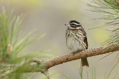 Female Rose-breasted Grosbeak Perched on a Pine Branch Stock Image