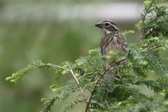 Female Rose-breasted Grosbeak. (Pheucticus ludovicianus) perched in an eastern hemlock tree - Grand Bend, Ontario, Canada Royalty Free Stock Photos