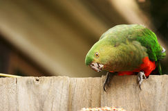 Female Australian King Parrot Royalty Free Stock Photo