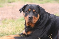 Female Rottweiler Stock Photos