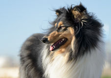 Female Rough Collie Dog Royalty Free Stock Images