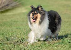 Female Rough Collie Dog Stock Images
